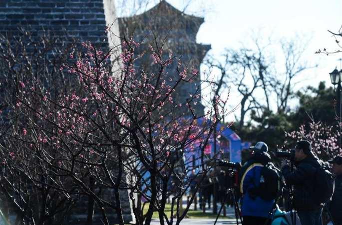 명나라 성벽 아래, 활짝 핀 매화꽃
