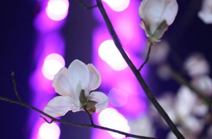 봄의 전령사 백목련, 상상을 초월하는 아름다움