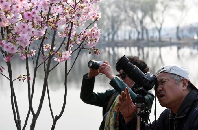 베이징 위위안탄공원, 벚꽃 개화