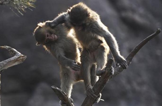 中 허베이 청더 봄날의 긴꼬리원숭이