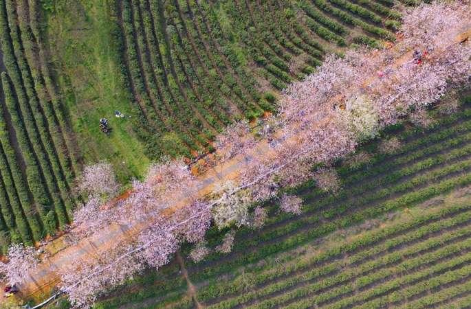 난창:만발한 벚꽃, 유람객 도취