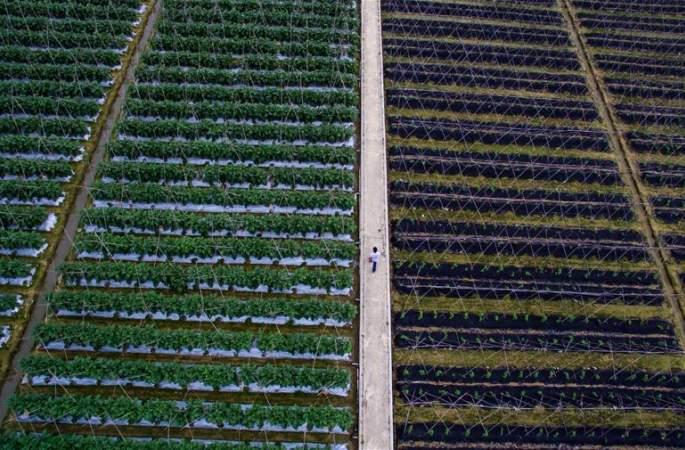 채소밭에서장바구니로—홍콩에공급하는야채의해외진출코스탐방