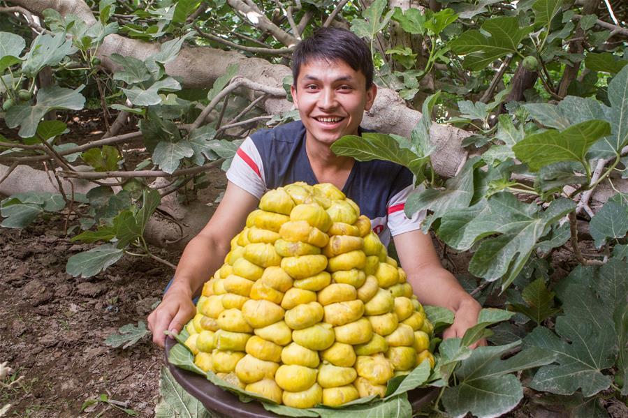 난장 과수 재배농, '설탕 만두'를 재배해 꿀맛 생활을 획득