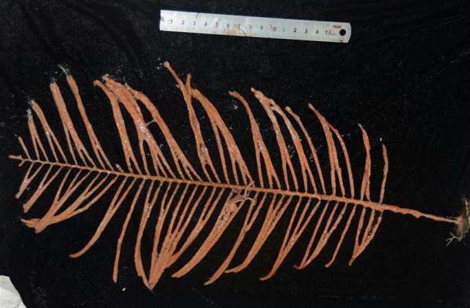 '발견'호가 캐롤라인 해산서 채집한 생물 샘플