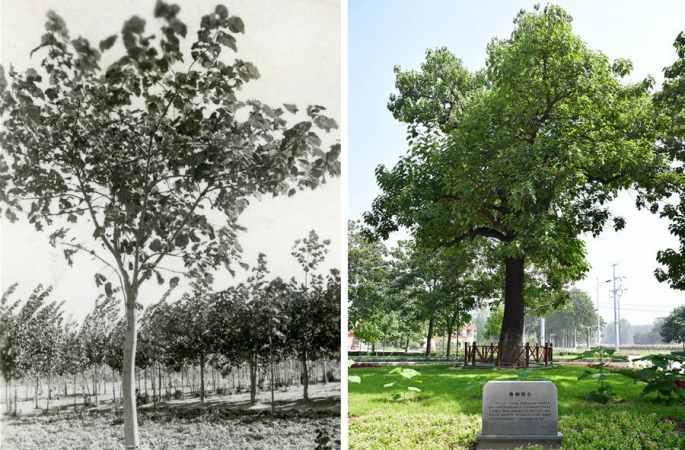 자오퉁, 민중의 마음속에 살아 있는 나무