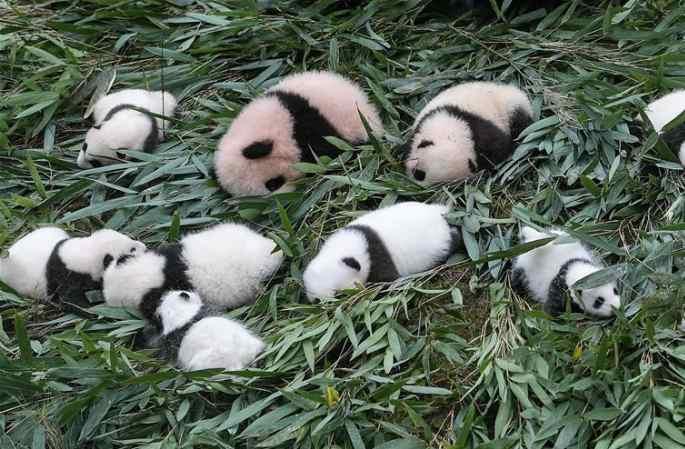 2017년 중국판다보호연구센터서 새끼 판다 42마리 태어나