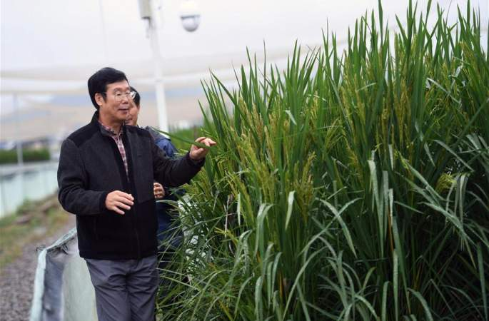 중국과학원, 고생산량 신품종 벼 개발…'초대형 벼' 높이 2.2m