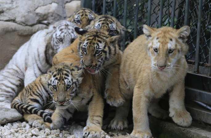 산둥 지난 야생동물원의 새끼 호랑이