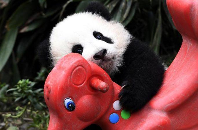 갓 태어난 아기 팬더, 재롱 피우는 모습 귀여워