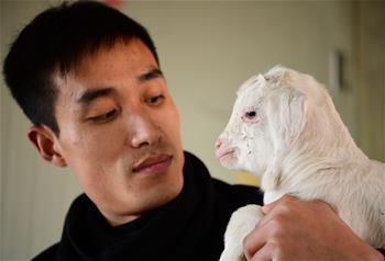 산촌 '羊 총책임자' 자오레이의 귀향 창업의 길