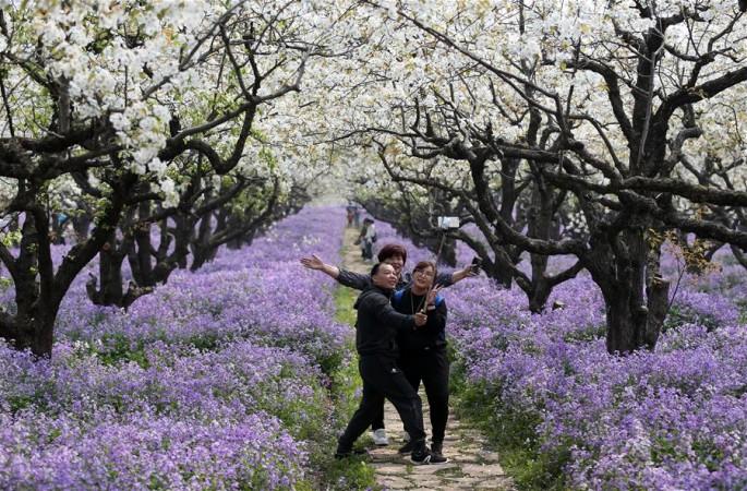 장쑤 쑤쳰: '배꽃과 소래풀의 만남'이 관광객의 발길을 끌어