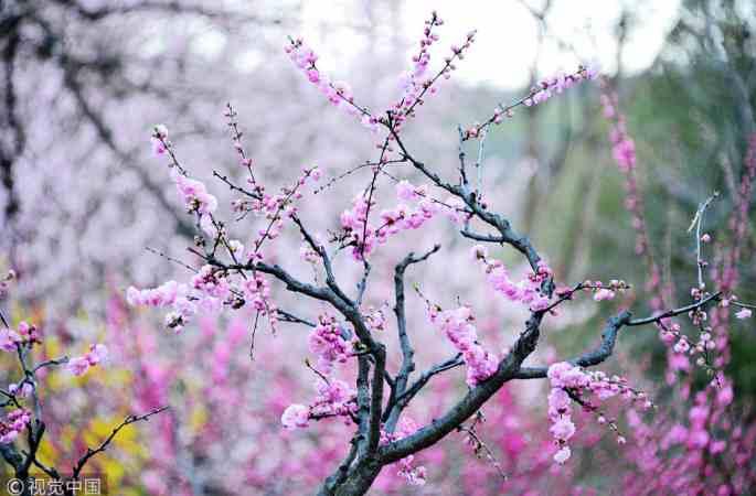 베이징 식물원 봄 꽃 만발