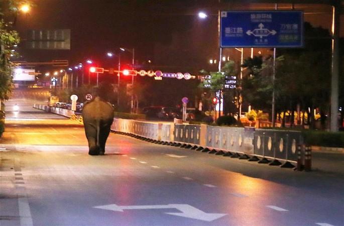 윈난 푸얼 시내, '코끼리 출몰' 해프닝 발생