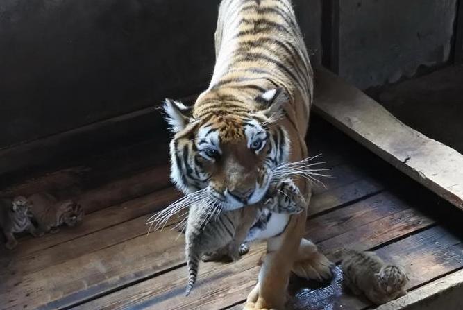 헤이룽장 하이린: 암컷 동북호랑이 한마리, 또 호랑이 다섯 쌍둥이 출산