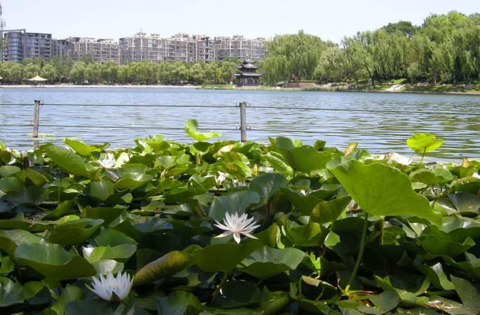 베이징 타오란팅 공원의 초여름 풍경…초록 수련 청량감 더해