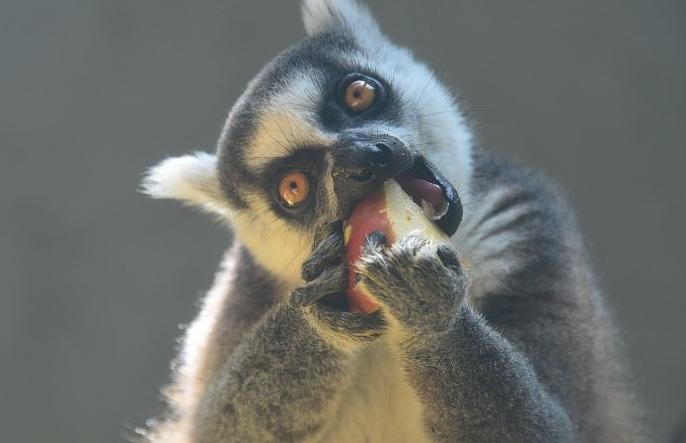 베이징: 호랑이꼬리여우원숭이 시원한 과일로 '더위야 물렀거라'