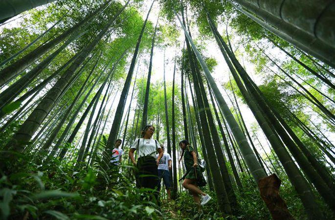 푸르름에 반하는 구이저우 츠수이 대나무 바다