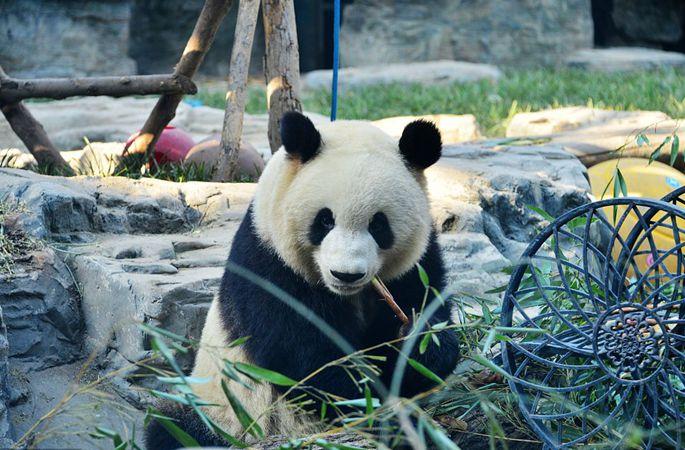 베이징: 판다, 따뜻한 초겨울 햇살 아래 대나무 죽순 '냠냠'