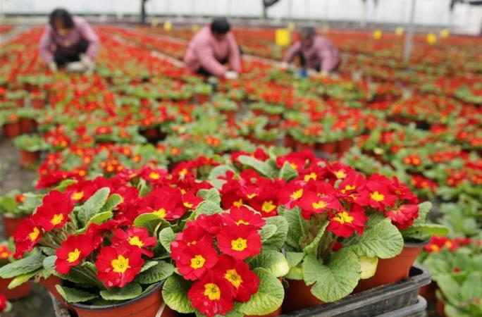 장쑤 하이안: 명절 앞두고 분재식물 판매 성수기
