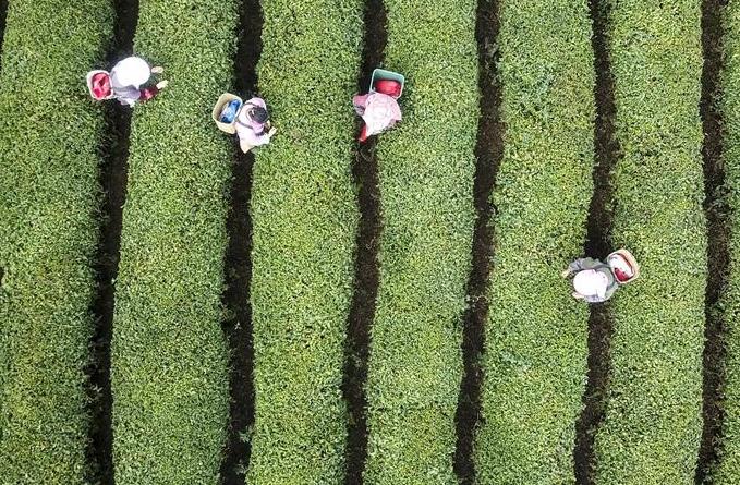 은은한 명전차 향기…차 재배농 찻잎 채취로 분주