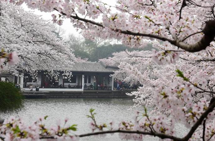 장쑤 우시: 벚꽃 한창