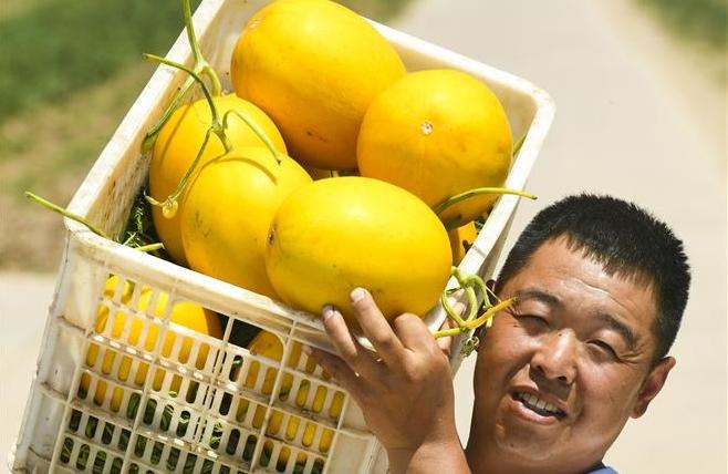 허베이 헝수이: 달콤한 참외향 솔솔, 농가 소득 쑥쑥