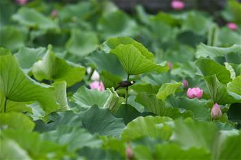 연꽃 연못의 '요정'