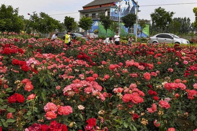 산시 뤄난: 꽃바다 이룬 '장미마을'
