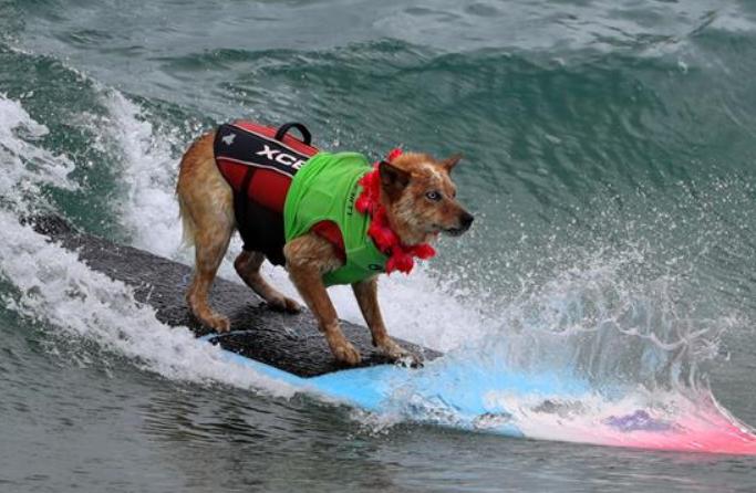 이색 서핑 대회…서핑 즐기는 견공
