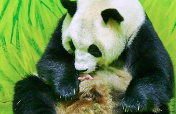 광저우: 자이언트 판다 새끼 낳아