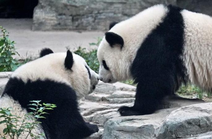 판다 쌍둥이 '멍바오''멍위' 베이징동물원에 입주