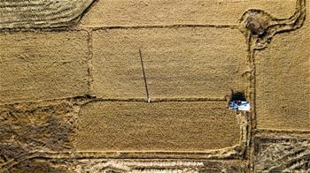 지린: 수확으로 바쁜 황금빛 가을 들녘