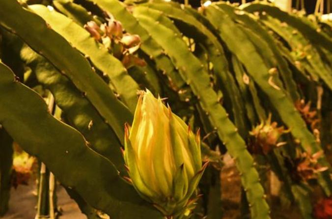 광시 룽안: 농업 현대화…용과 재배기지에 조명시스템 구축