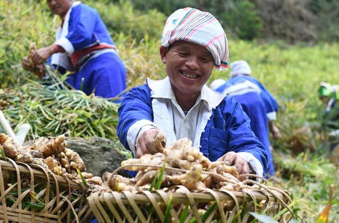 광시 허저우: 핑구이 투야오의 생강에 의한 빈곤퇴치