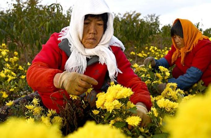 산둥 룽청: 부의 꽃길 수놓는 금사황국