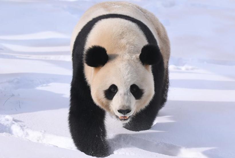 눈밭서 뒹굴며 신난 귀여운 판다 '무윈'