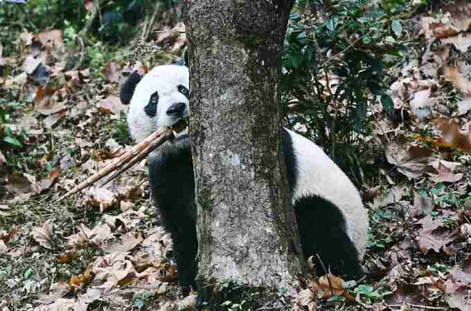 美 출생 판다 '베이베이' 쓰촨에 귀착