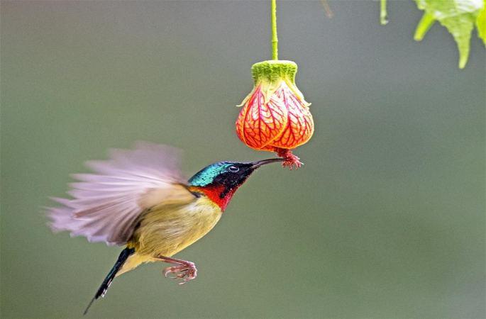 푸저우: 꿀 빨아먹는 '아시아 벌새'