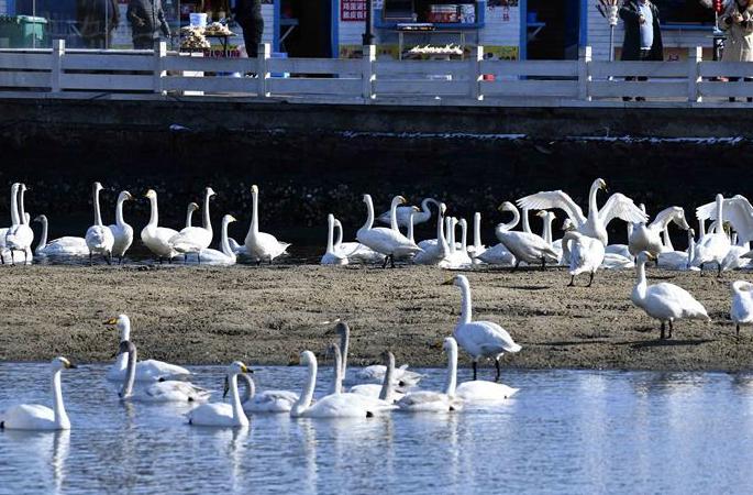 산둥 룽청: '백조의 고향'에서 펼쳐진 '겨울 연가' 향연