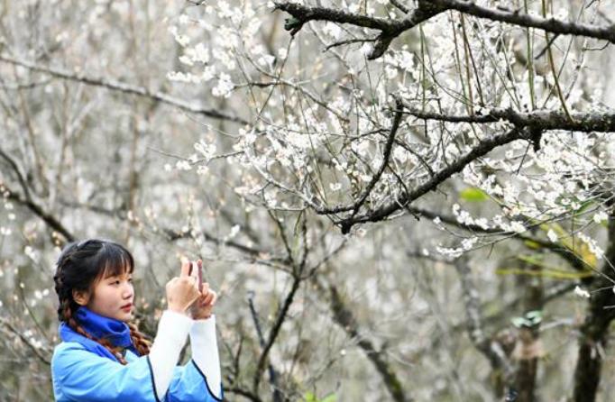 구이저우 리보: 활짝 핀 매화 감상 삼매경