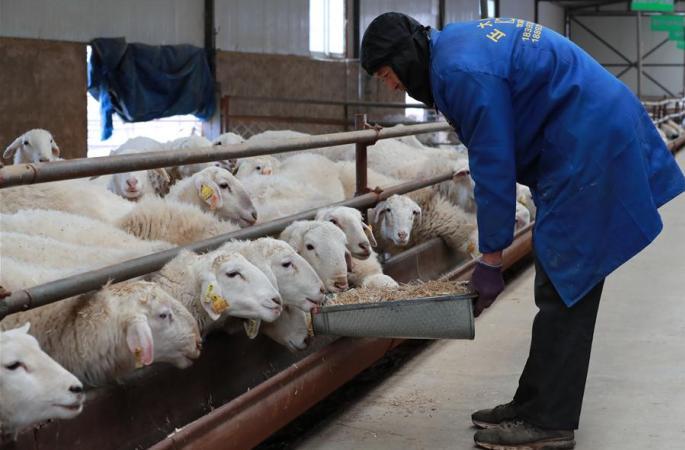 간쑤 광허: 규모 사육으로 빈곤탈출