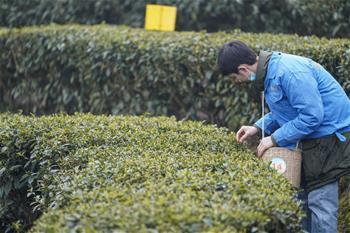 충칭 난촨: 방역·생산 둘다 잡아…봄차 채취와 가공으로 분주
