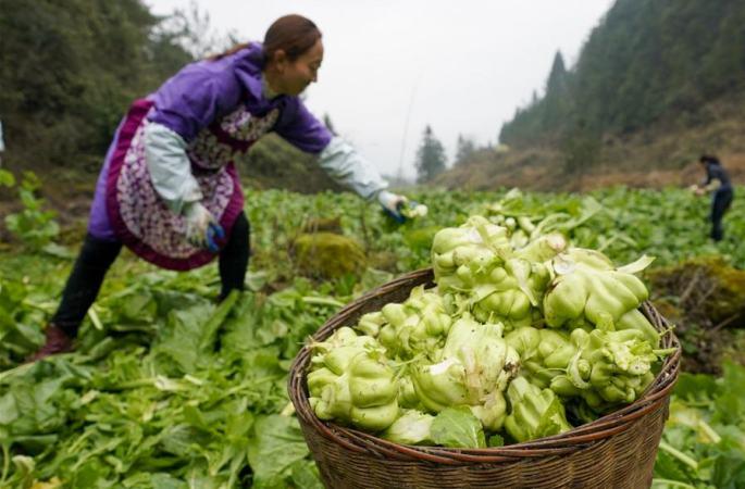 충칭 여우양: 칭차이터우 재배로 소득 증대