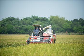 하이커우: 올벼 수확