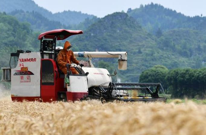 구이저우 쓰난: 겨울 밀 수확