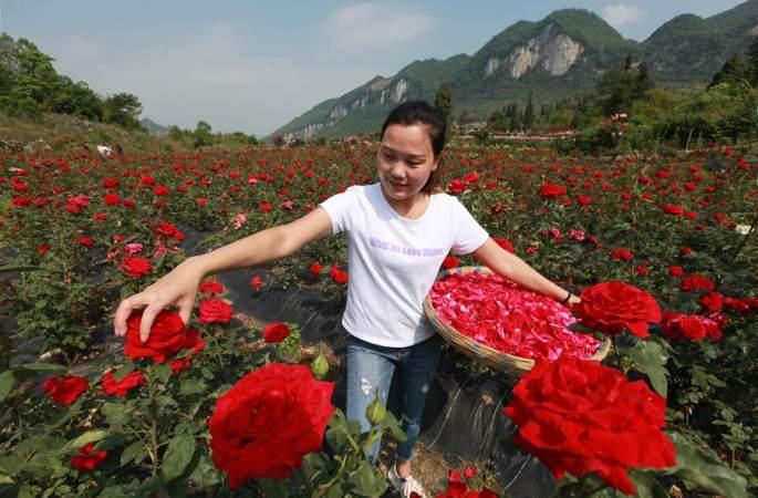 구이저우 비제: '꽃 경제' 소득 증대 도와