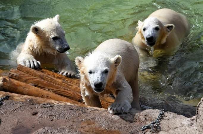 새끼 북극곰 세 쌍둥이