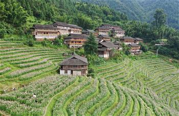 광시 룽성: 꽃바다 이룬 다락밭