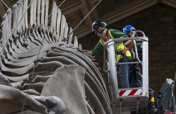 영국 자연사 박물관 재개관 앞두고 막바지 준비 한창