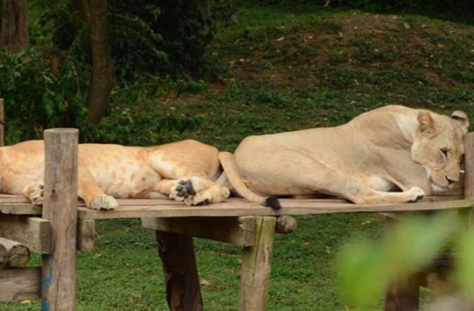 우간다: 동물원 재개장
